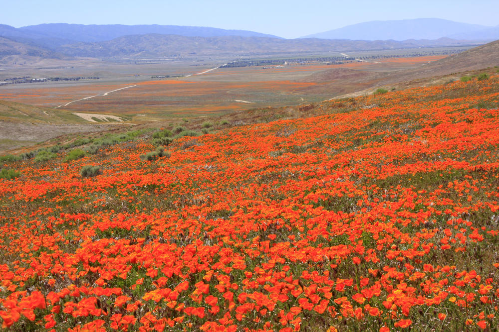 Antelope Valley California Poppy1